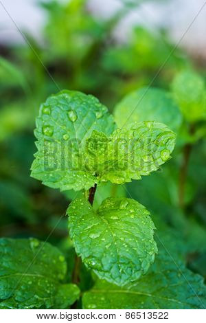 Fresh Mint Leaves After Rain
