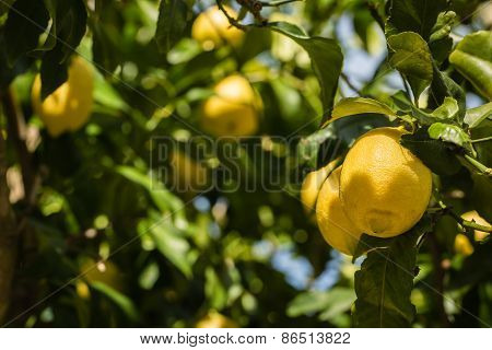 Two Lemons Growing On A Lemon Tree In Corsica