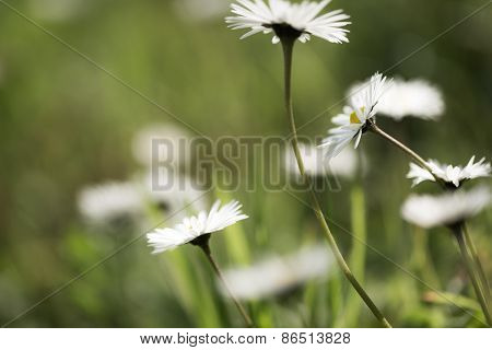 Daisies Dancing In The Wind Against A Green Backdrop