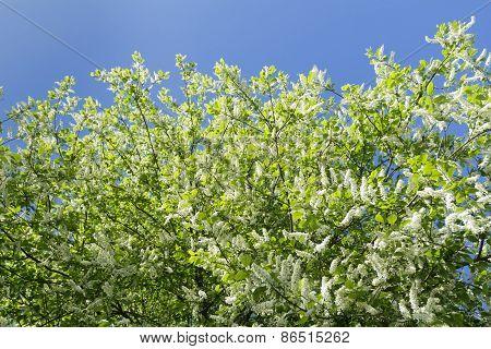 Snow White Flowers Of European Bird Cherry Tree In Springtime