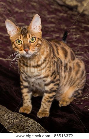 Cat Bengal breed.