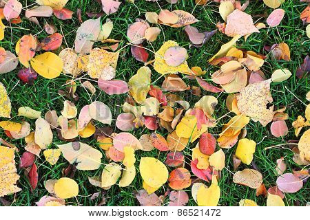 Fallen Leaves From Trees On The Shorn Green Grass