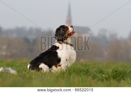Cavalier King Charles Dog Portrait