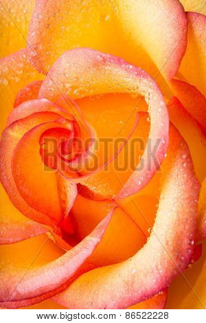 Orange-yellow Rose With Water Drops On Petals Close Up