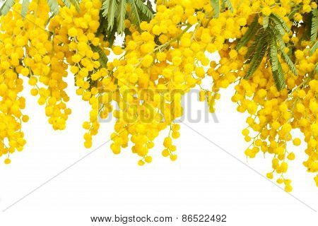 French mimosa