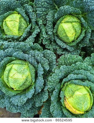 Savoy Cabbage In The Garden