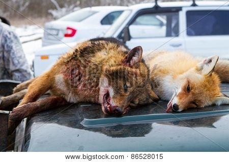 Dead Foxes After The Hunt