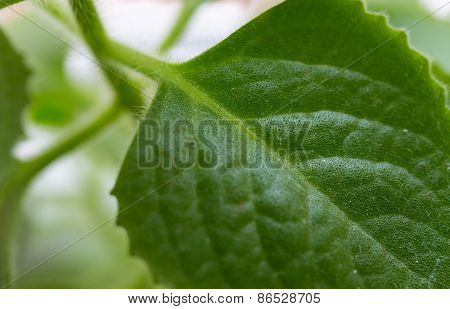 Cuban Oregano Plant