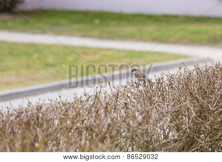 Sparrow Sitting On Hedge