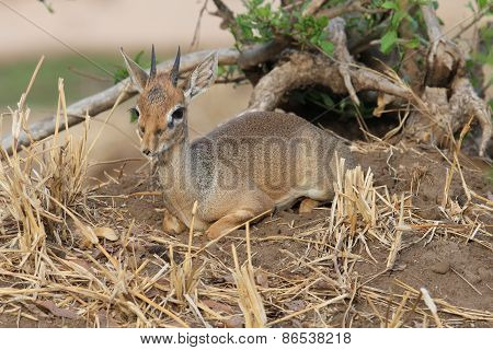 Little hartebeest