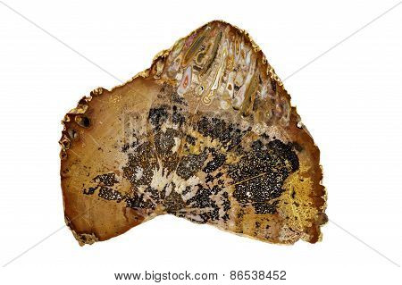 Petrified palm trunk
