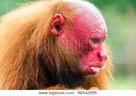 Bald Uakari Closeup