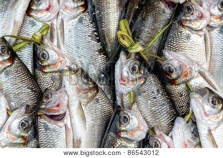 Fresh Caught Fish