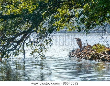 Great Blue Heron On Lake