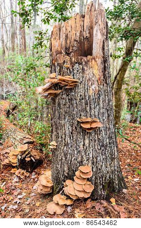 Stump With Fungus