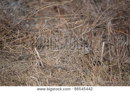 hiding ground hog