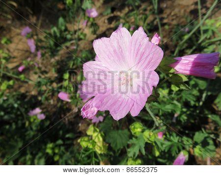 Geranium Flowering