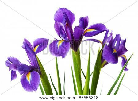 Iris flowers isolated on white