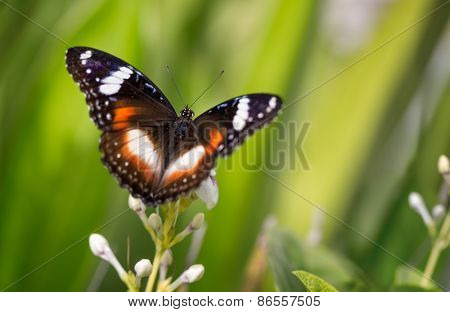 Butterfly with open wings in nature