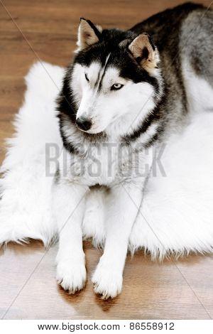 Beautiful cute husky lying on carpet in room