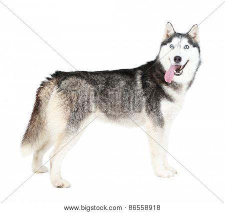 Beautiful cute husky, isolated on white