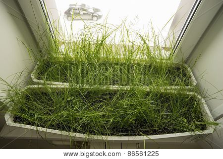 Green grass in the boxes on the windowsill