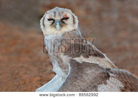 A young giant eagle-owl (Bubo lacteus) sitting with open wings, South Africa
