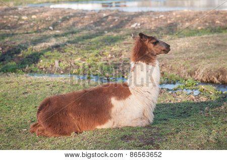 Lama Lying Down