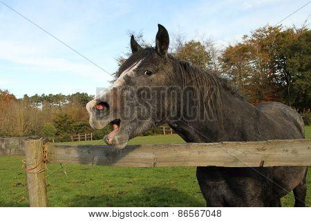 Grey dark horse or pony yawning