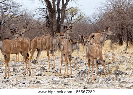 Herd Of Kudu In African Savanna