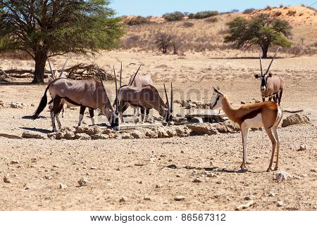 Herd Of Gemsbok, Oryx Gazella And Springbok On Waterhole, Focus To Oryx