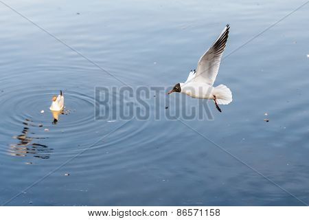 Seagull Over The Water