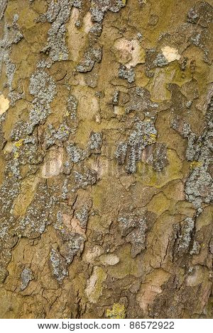 Closeup Of Plane Tree Bark
