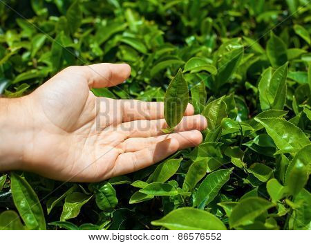 Tea Leaves In Hand