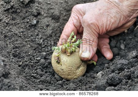 Planting A Germinated Potato Seedling