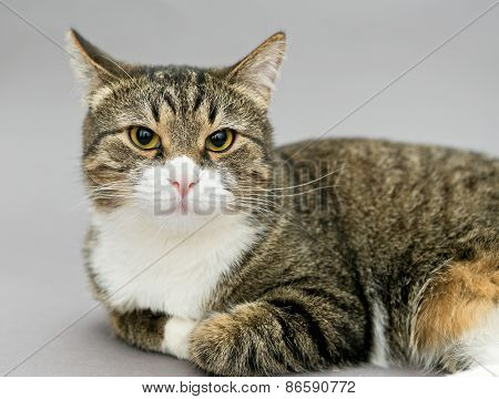 Portrait Of A Big Gray Striped Cat