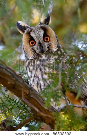long-eared owl (Asio otus) in the tree