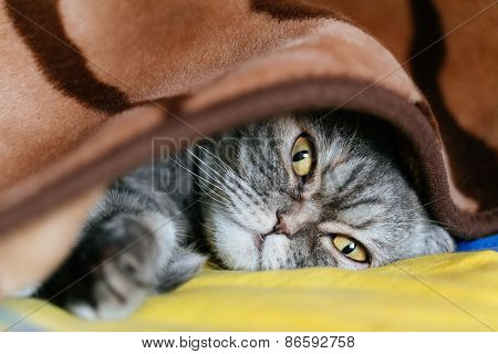 Sleepy cat under the blanket.
