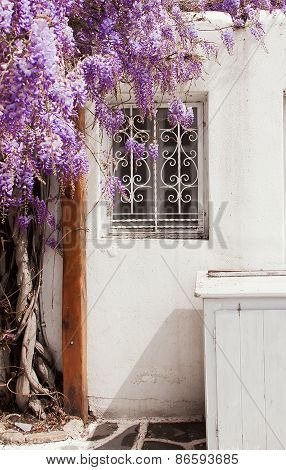 Wisteria Blooms Bush Near A Window. Typical Of Greece. Mykonos.