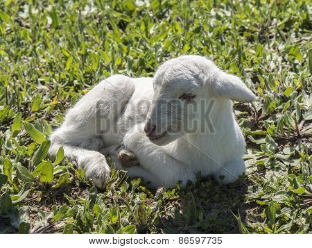 Newborn lamb in a meadow
