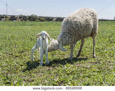 Newborn lamb with his mother