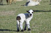pic of spring lambs  - Little lamb standing alone on field in spring - JPG