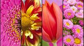 picture of gerbera daisy  - Collage of yellow Dahlia red Tulip pink Gerbera and Daisy in close up separated with black strips - JPG