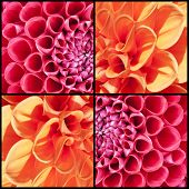 stock photo of lilas  - Collage of orange and lila Dahlias in a square frame - JPG