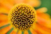pic of black-eyed susans  - Macro image Black Eyed Susan Summer flower - JPG