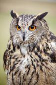 foto of rear-end  - Eagle Owl - JPG
