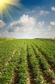 stock photo of potato-field  - Wonderful potato field by summertime - JPG