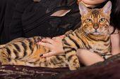 foto of bengal cat  - Bengal cat in her hands - JPG