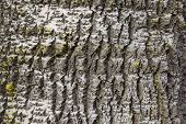 picture of white bark  - part of white poplar bark with yellow moss - JPG