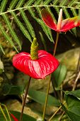 image of tail  - Anthuriums also called tail flower - JPG